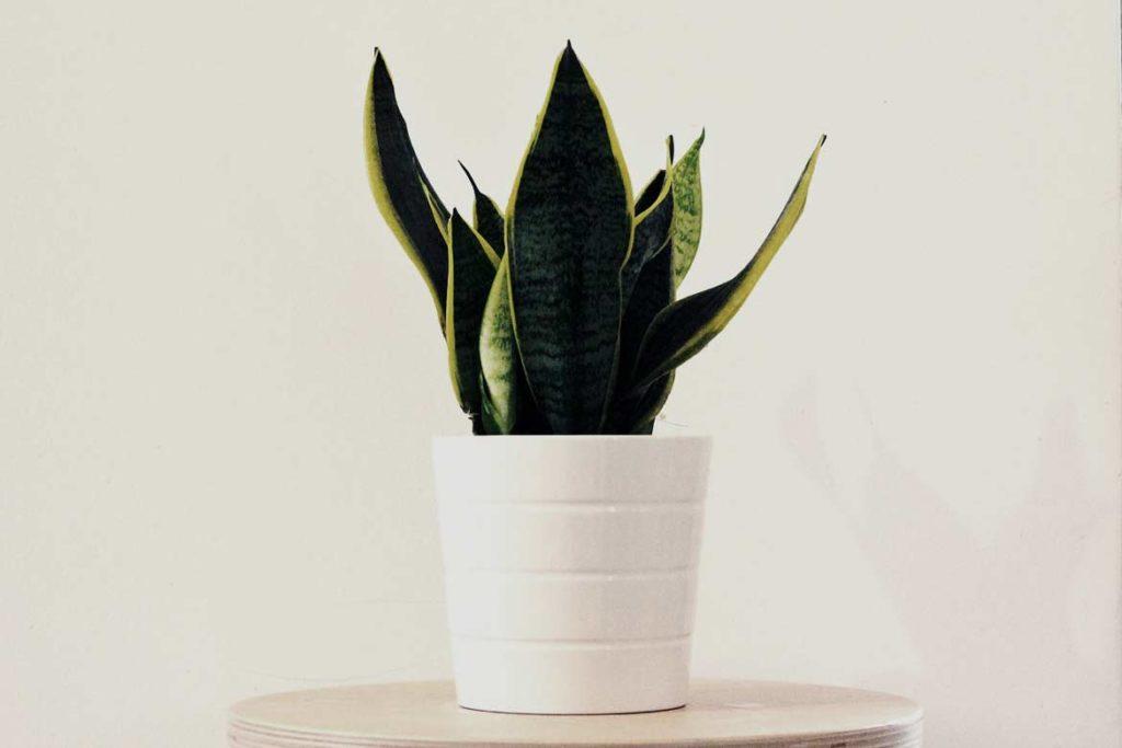 wężownica, Sanseviera to kwiat doniczkowy łatwy w uprawie