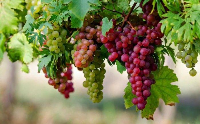 health benefits of grapes in hindi