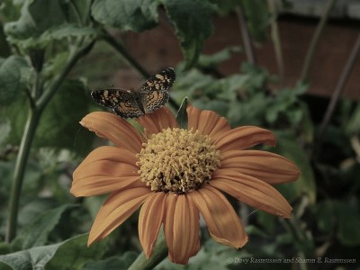 Checkered spot on Mexican Sunflower