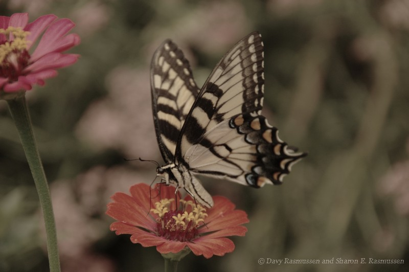 Tiger Swallowtail and Zinnias