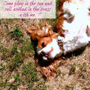 Come play in the sun and roll around in the grass with me. Cavalier King Charles Spaniel
