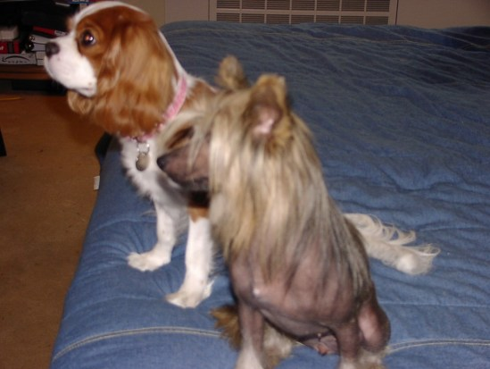 Cavalier King Charles Spaniel and a Chinese Crested
