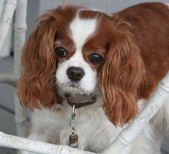Cavalier King Charles Spaniel with a Blanket ID Tag