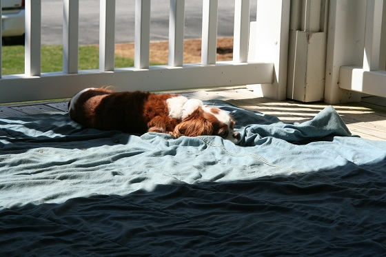 Cavalier Sleeping in the Sun