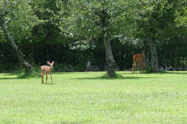 momma deer with their babies