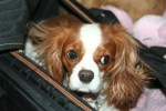 Cavaliers King Charles Spaniel Traveling
