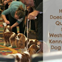 How Does A Dog Qualify for Westminster Kennel Club Dog Show?