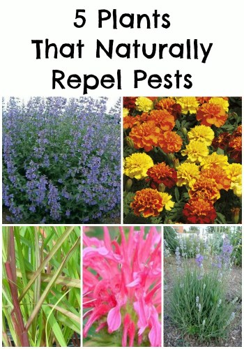 5 Plants That Naturally Repel Pests