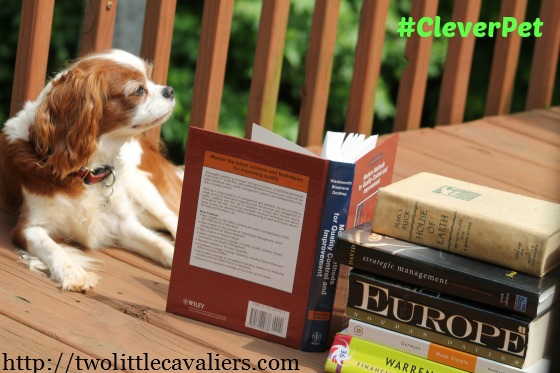 Davinia the Cavalier King Charles Spaniel #cleverpet