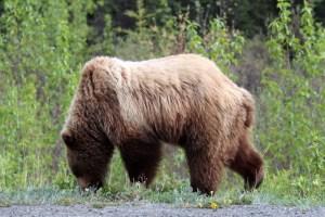 Alaska Animals Grizzly Bear