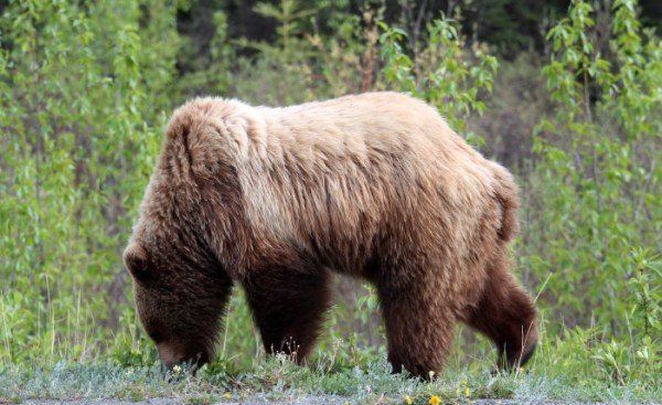 Animals of Alaska Grizzly Bear