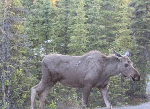 Animals of Alaska Moose
