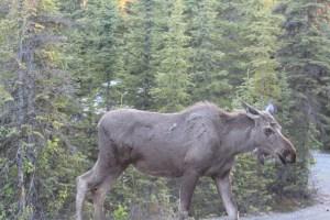 Alaska Animals Moose