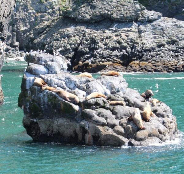 Animals of Alaska Sea Lions