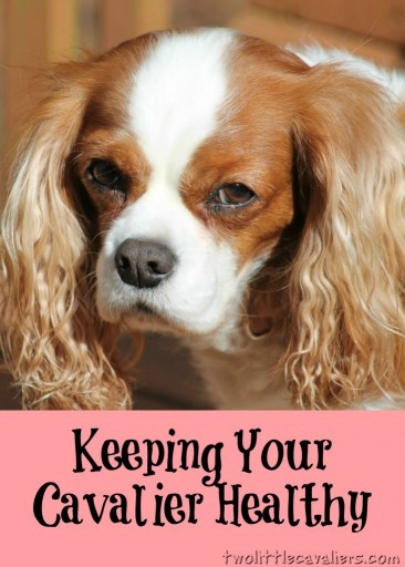 Keeping Your Cavalier Healthy - Dog Care