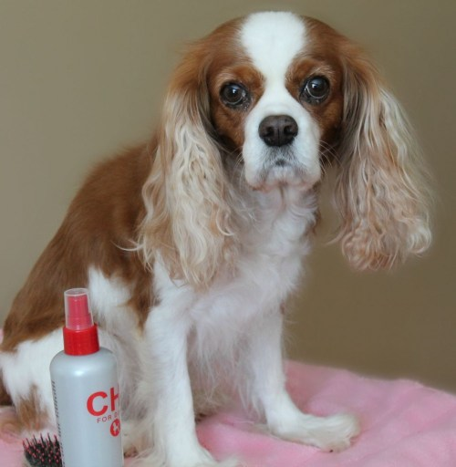 Cavalier King Charles Spaniel after a bath