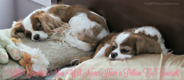 With Cavaliers You Will Never Have a Pillow To Yourself Ever