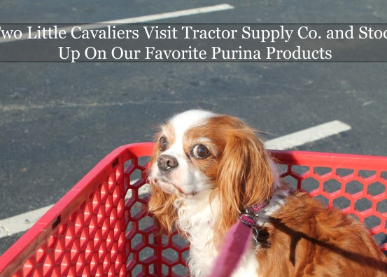 Two Little Cavaliers Visit #TractorSupply and Stock Up On Purina Products