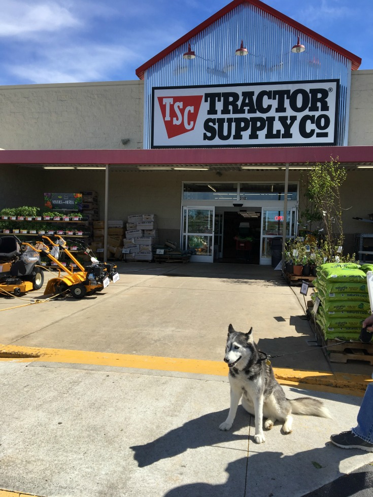 Whisper Stands Guard at Tractor Supply