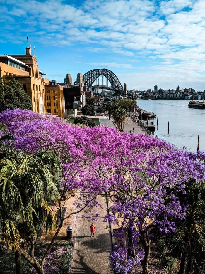 jacaranda z Sydney Harbour Bridge w tle