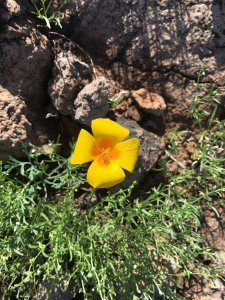 Image: Mexican Gold Poppy
