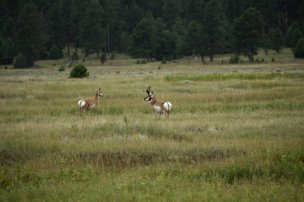 Photo: Pronghorn near Dogcamp