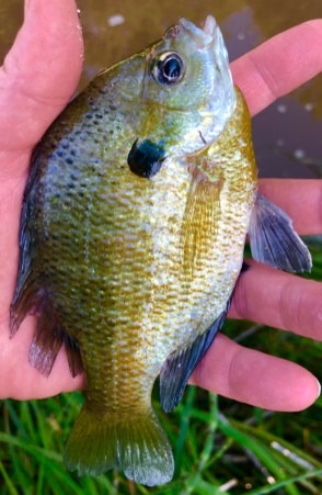 fryer sunfish