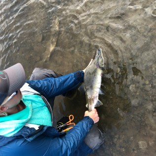 Pink Salmon Release