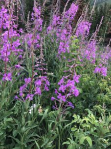 red dirt fireweed