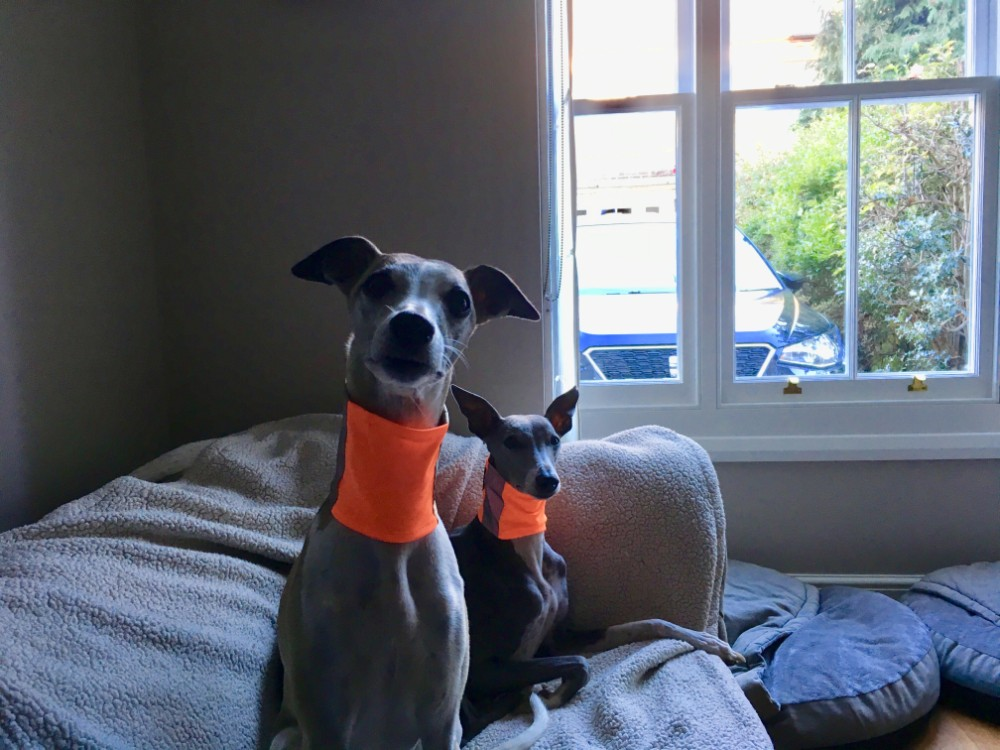 Dear New Whippet Owners…