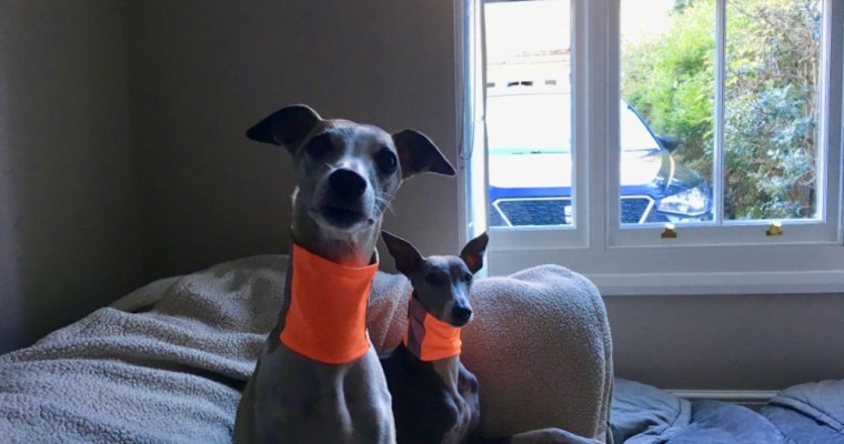 Dear New Whippet Owners… Tops Tips & Advice: