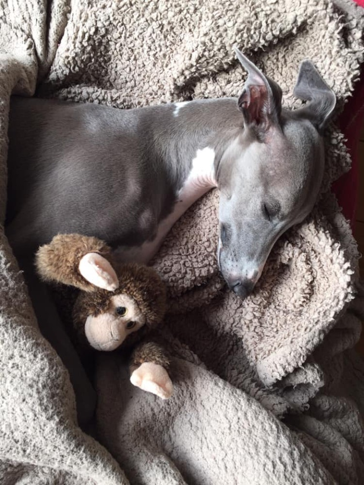 blankets for whippets