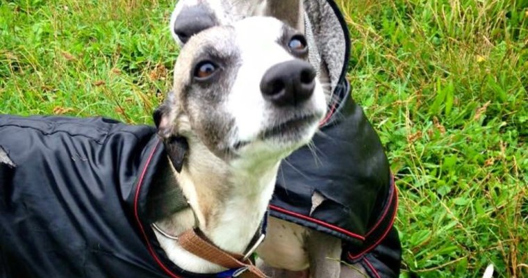 Our 3 Favourite Coats for Whippets