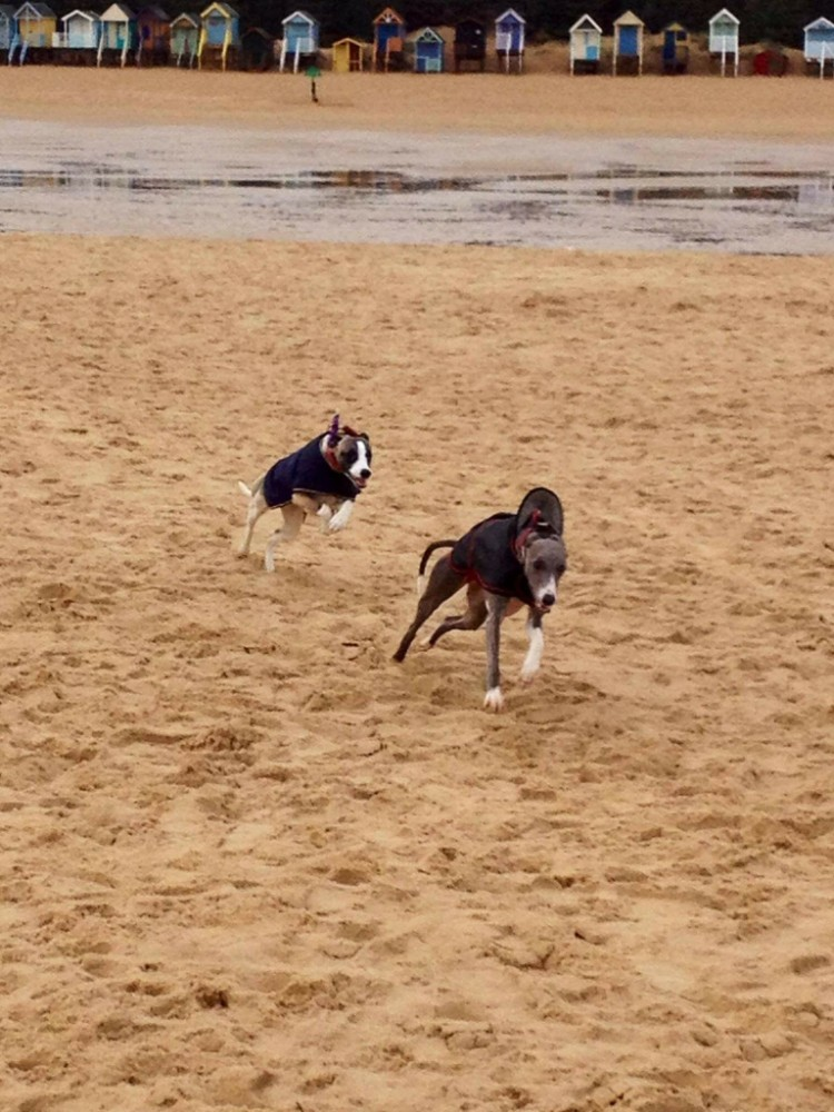 sighthounds will chase!