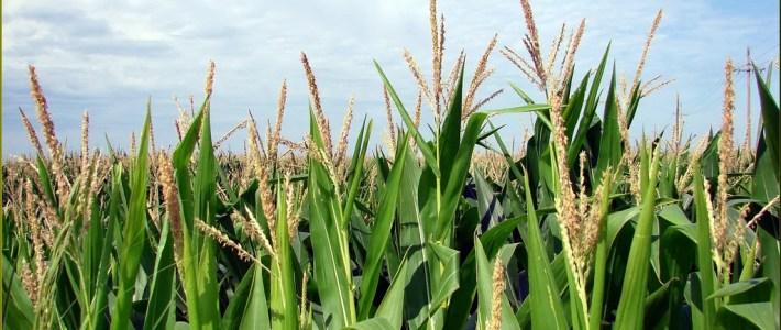 Tassling Corn Field