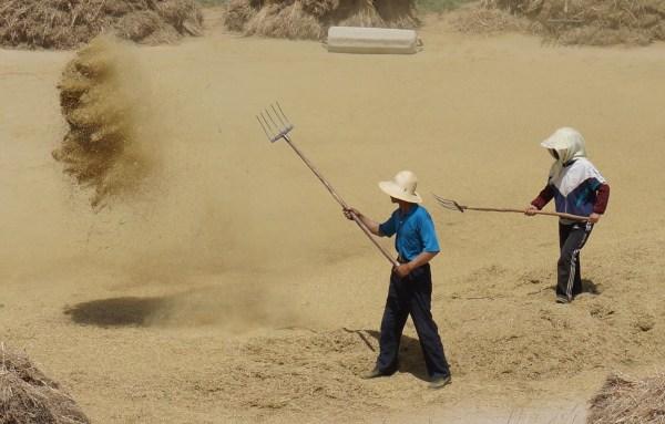 Threshing in Yuanzhuang Village, Jingtai, Gansu