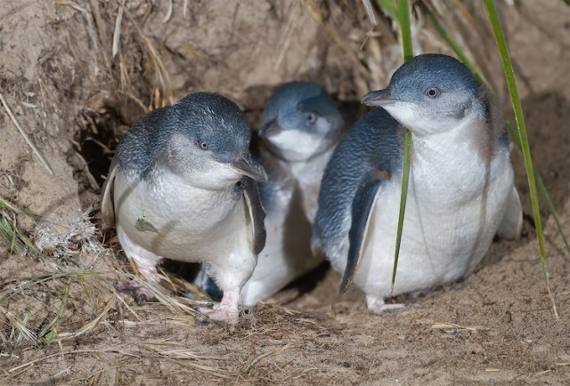 Little penguins of Phillip Island
