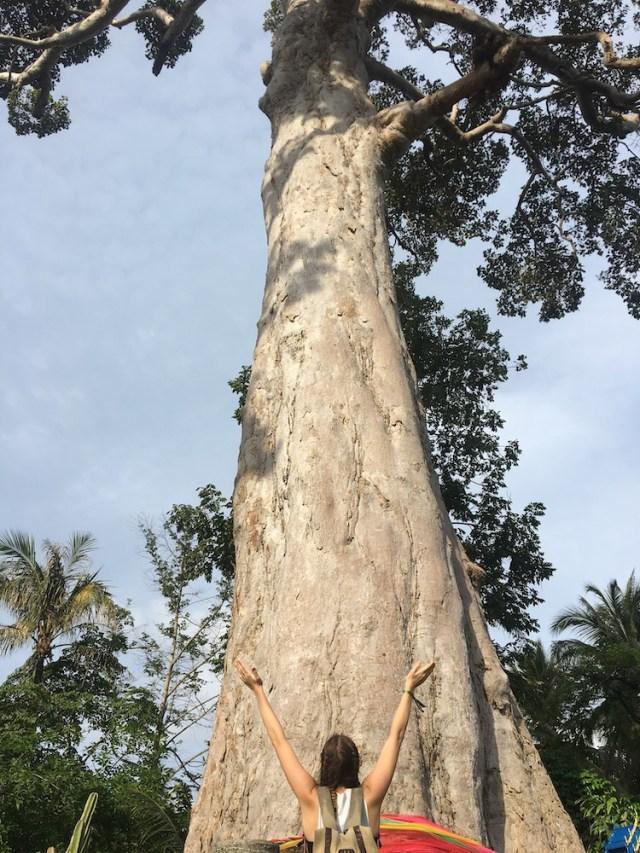 Yang Na Yai Tree in Koh Phangan