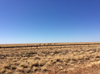 Emus dawdling along the fence line next to the road and rail line