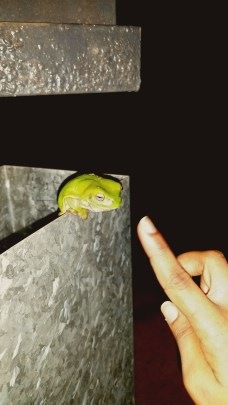 Terrence, our resident Green Tree Frog
