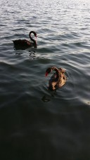 Black swans in Lake Monger - Perth