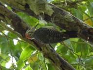 Pajaro Carpintero (Woodpecker)