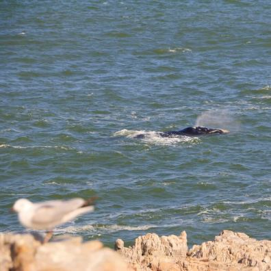 South Africa, whales, ocean,