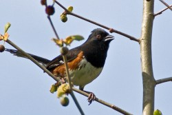Summer Yard Birding