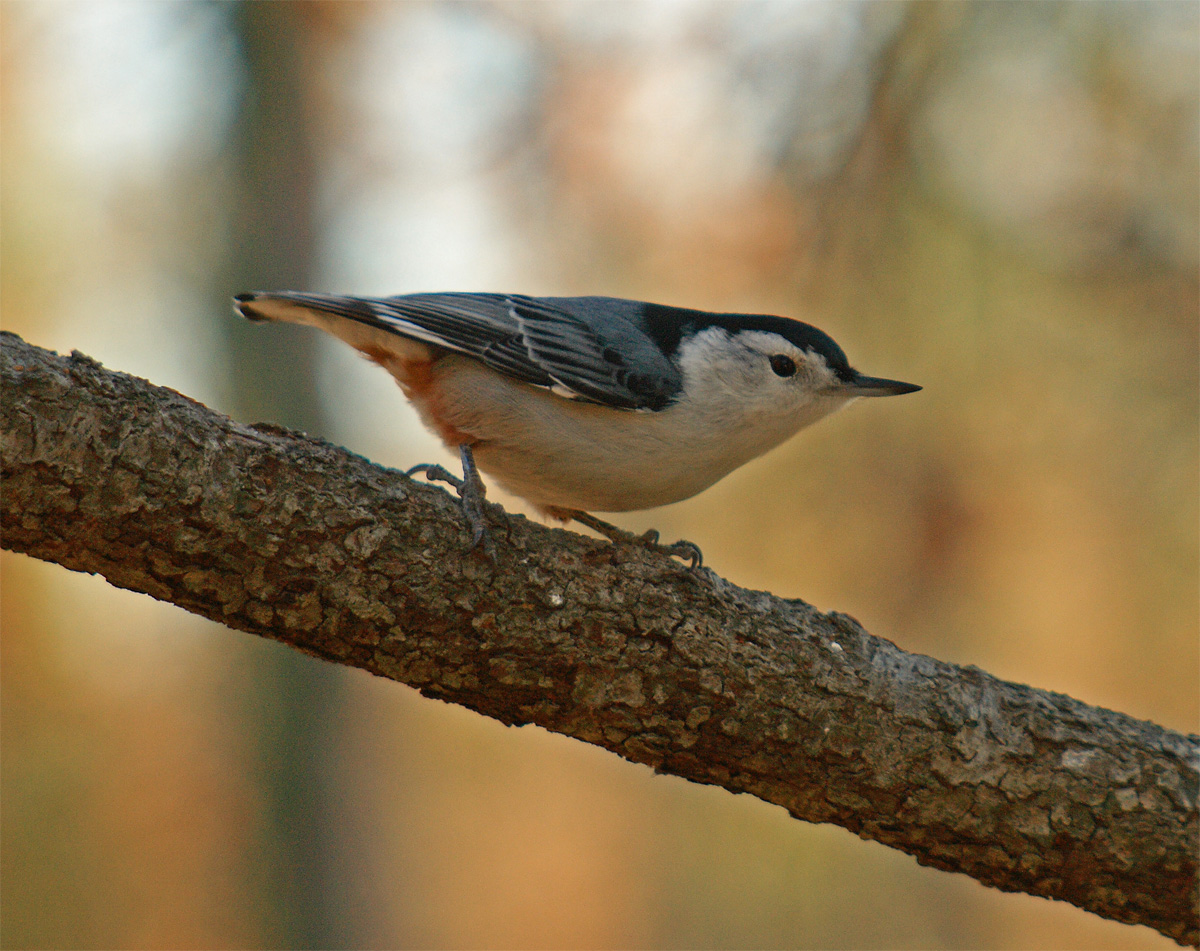 White Breasted Nuthatch, summer yard birding