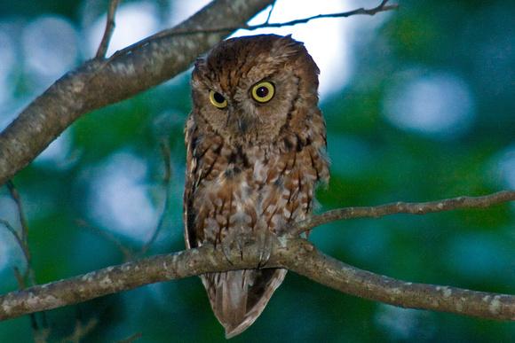 Screech Owl, summer yard birding