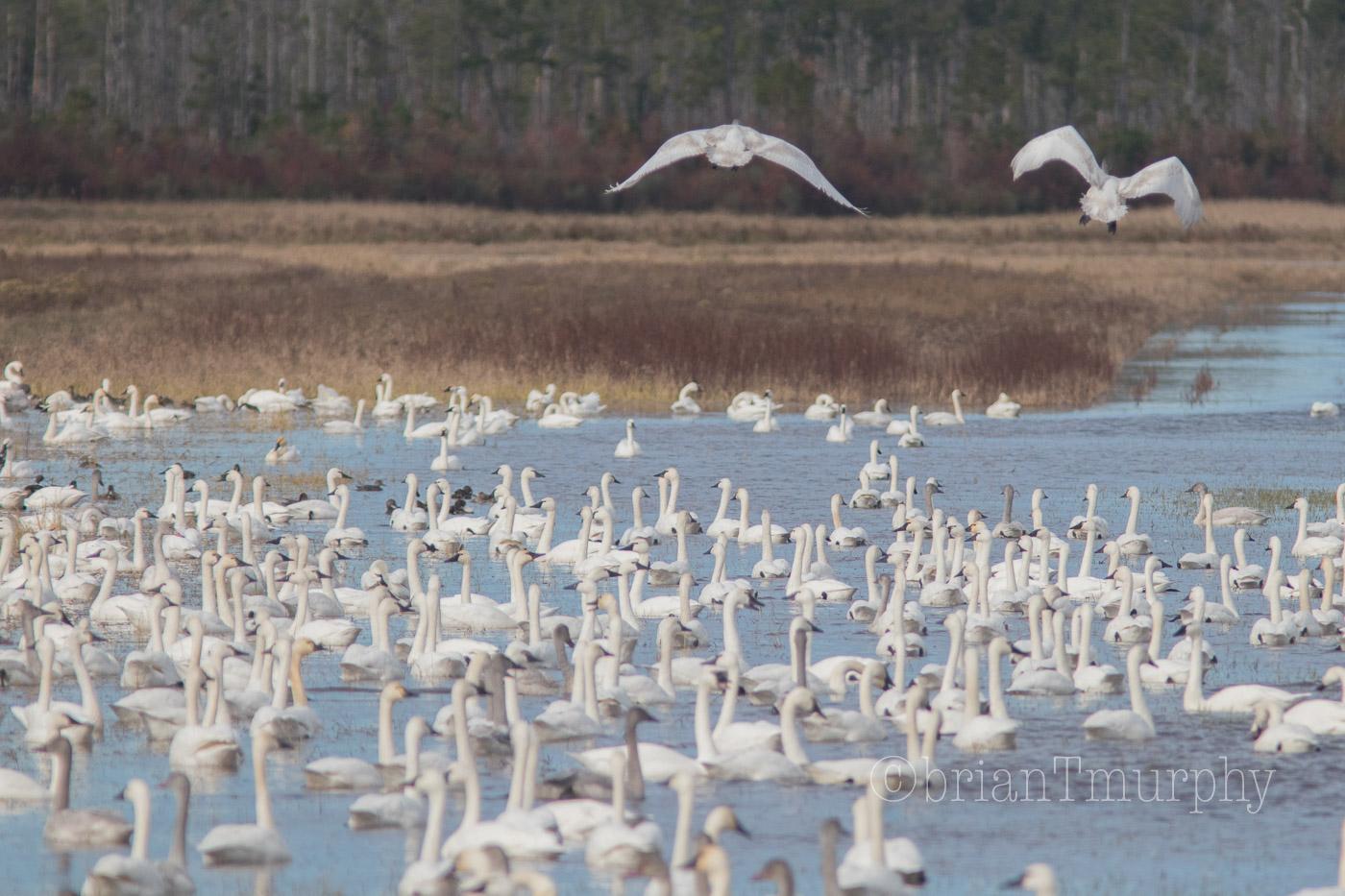 2019 Thanksgiving Birding on the NC Coast