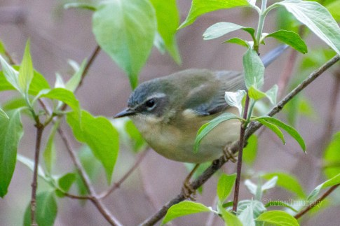 Black-throated Blue Warbler (f)