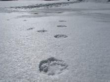 Possible snow leopard prints