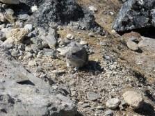 Himalayan pika